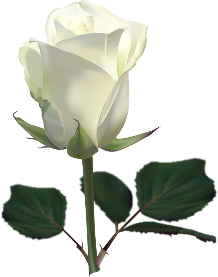 10 Best ideas about White Rose Pictures on Pinterest | White roses