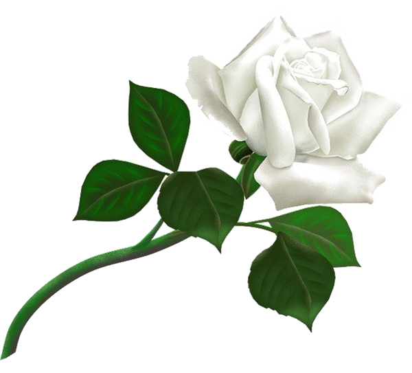 White roses PNG images, free download flower pixtures