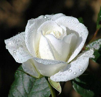 What is the meaning and purpose of white roses? | WINTERY KNIGHT