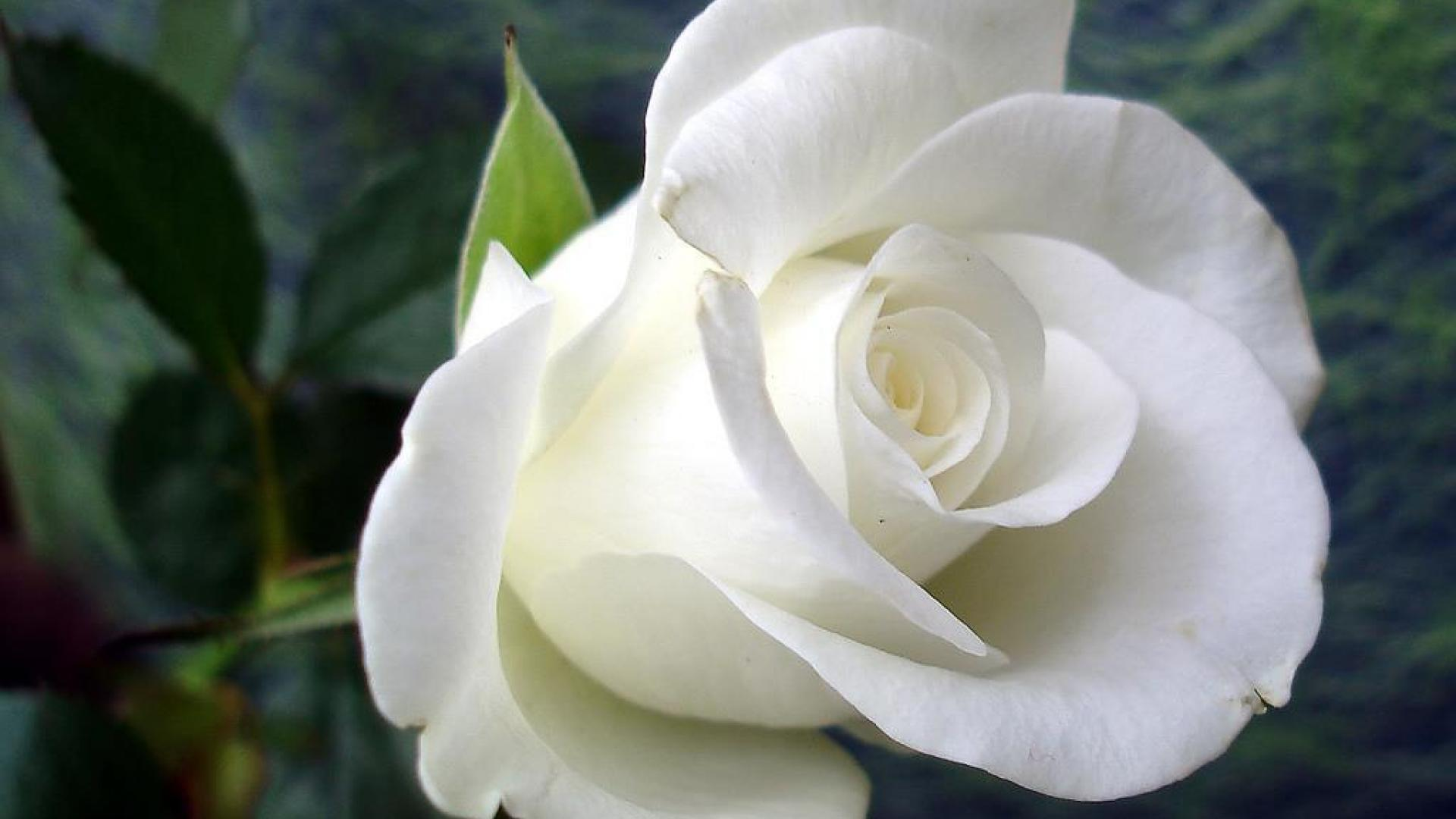 White Rose Images, 47+ Best & Inspirational High Quality White