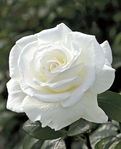 1000+ ideas about White Rose Flower on Pinterest | Wedding wreaths