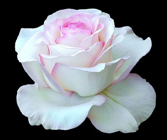 Beautiful White Roses | Beautiful White Rose - Moon Stone - D2X-07