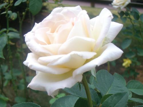 White Rose Bush Seeds - Urban Farmer