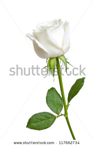 White Rose Stock Images, Royalty-Free Images & Vectors | Shutterstock