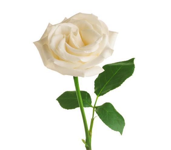 White Rose | 6 Pretty Flowers and Their Symbolic Meanings | Real