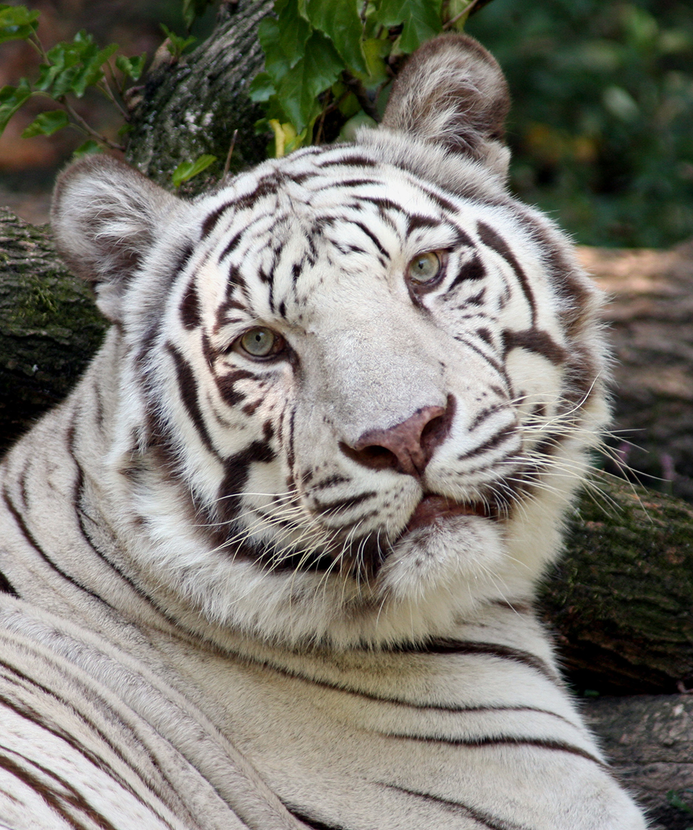White Tiger – The Cincinnati Zoo & Botanical Garden