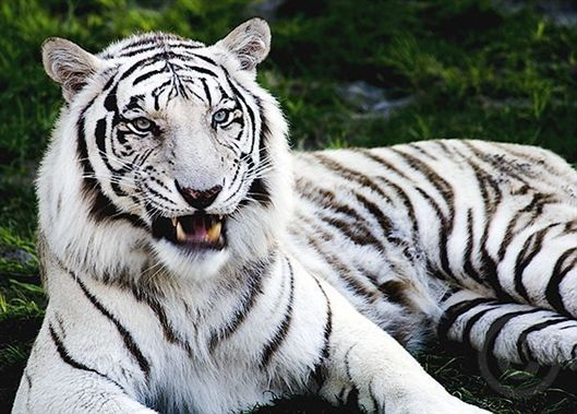 10 Best images about White Tiger on Pinterest | Cats, Animals and