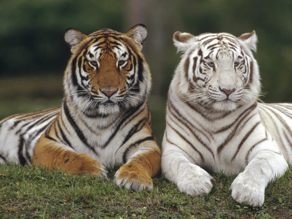 White Tiger Wallpapers for Desktop | V32 | White Tiger Collection
