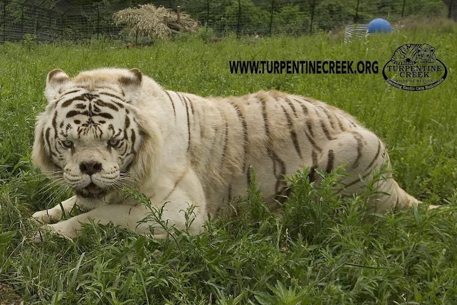 This Is Why No One Should Ever Breed White Tigers