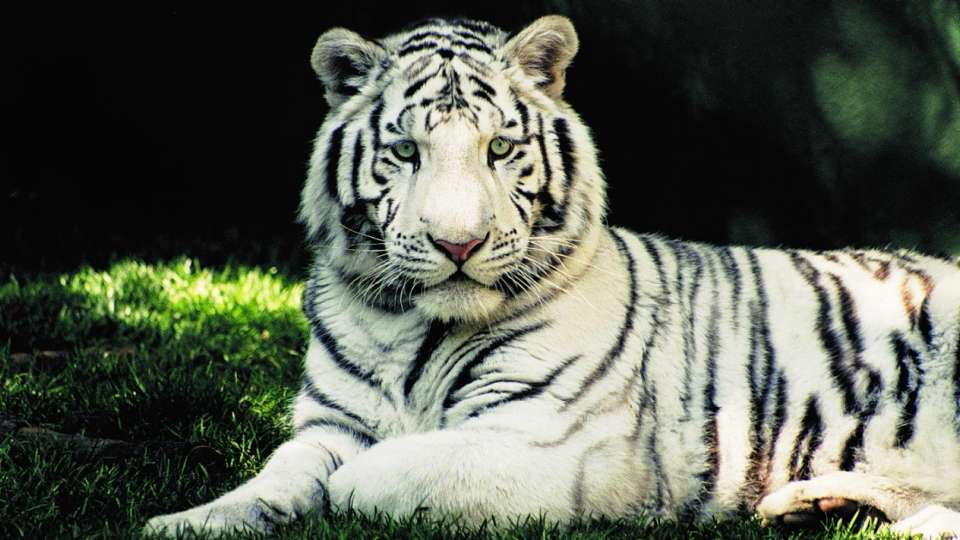 Images Collection of White Tiger | nMBK14 Collection