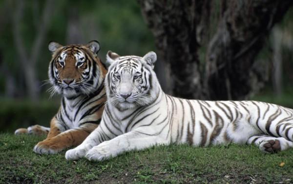Evolution - The White Tiger
