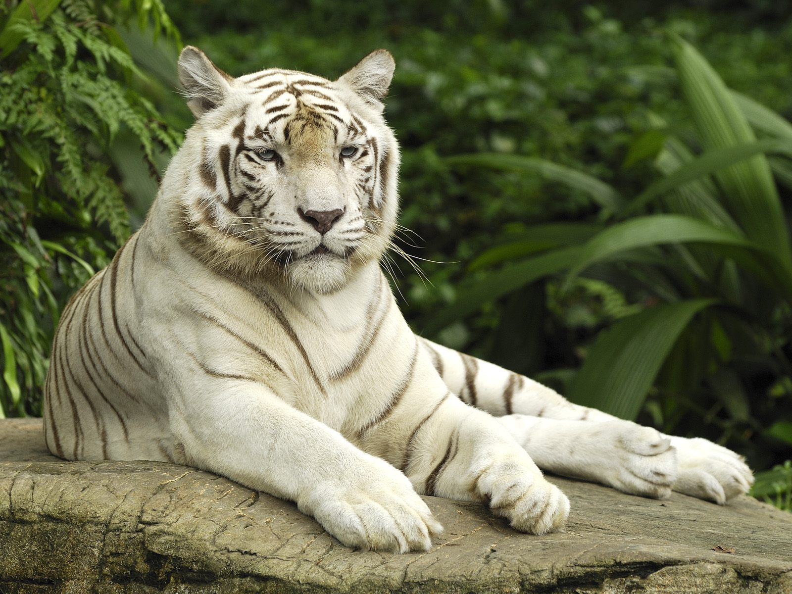 17+ images about white tiger on Pinterest | Beautiful, Desktop