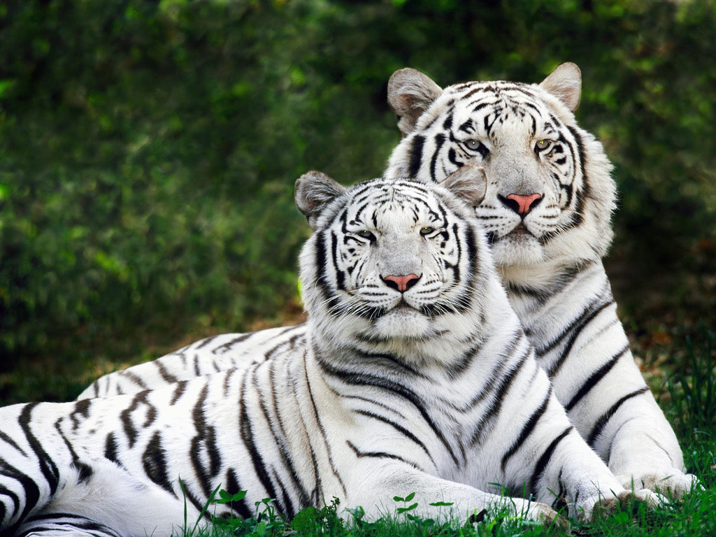 White Tiger Facts for Kids - yourkidsplanet com