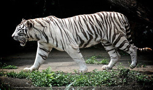 White Tiger Facts | White Tiger Habitat & Diet