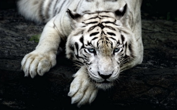 100% Quality HD Wallpapers: White Tiger Wallpaper, White Tiger