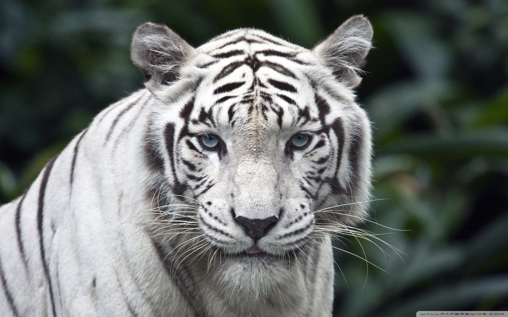 White Tiger HD desktop wallpaper : Widescreen : High Definition