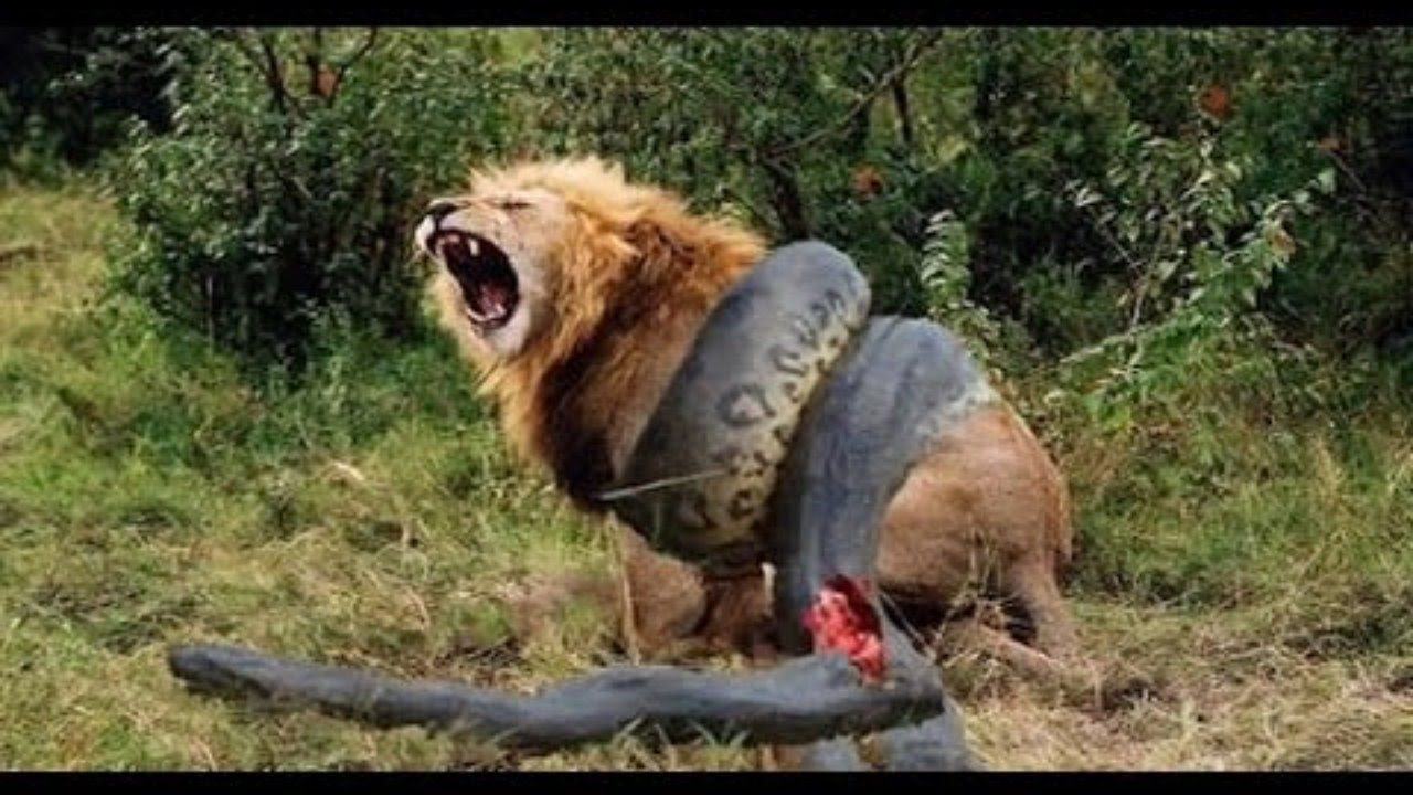 Most Amazing Wild Animal Attacks #5 | lion, tiger, anaconda, deer