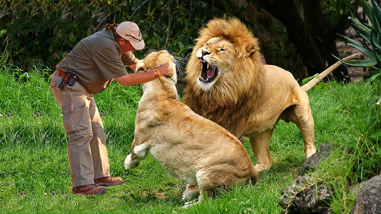 Man play with lions at the zoo - Wild animals communicating with