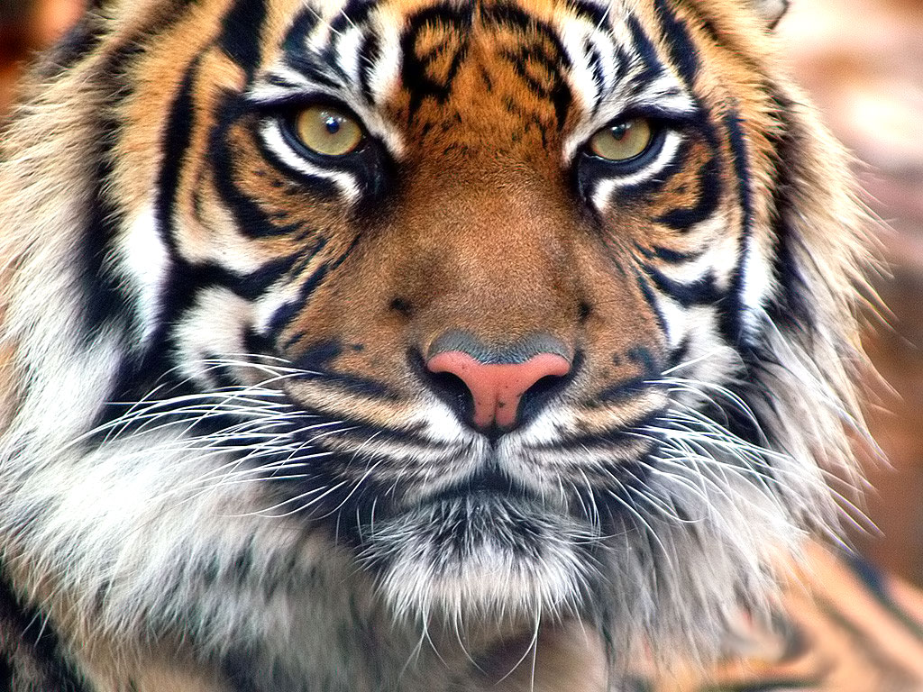 Tigers Wallpaper - Wild Tiger Animal Wallpapers Gallery