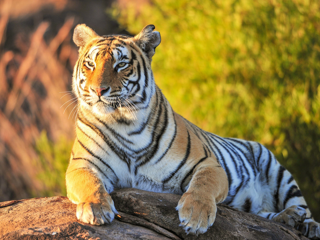 Tiger HD Wallpaper #10578