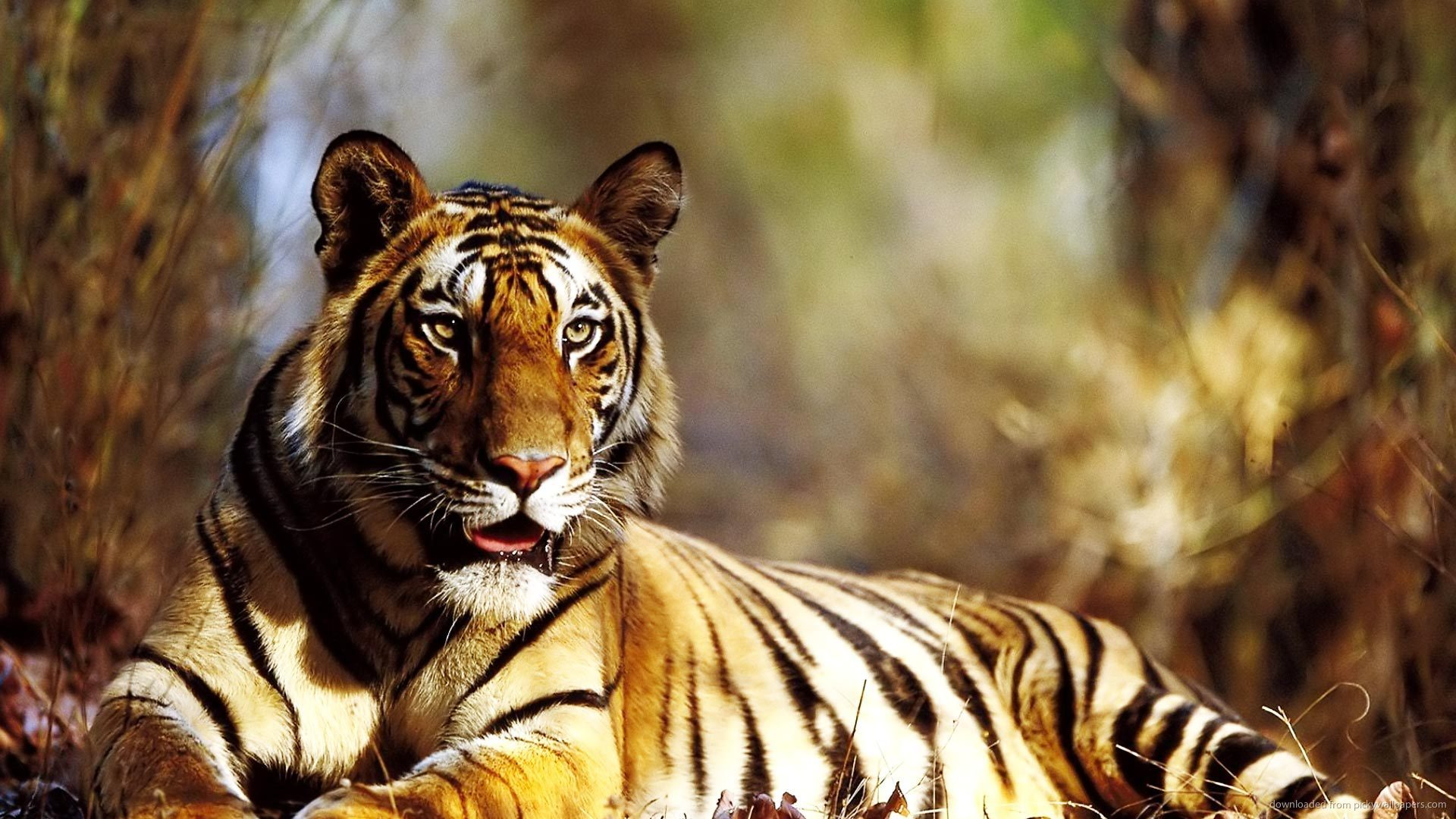Tiger Photo Wallpaper High Resolution Wallpaper Full Size | Nature