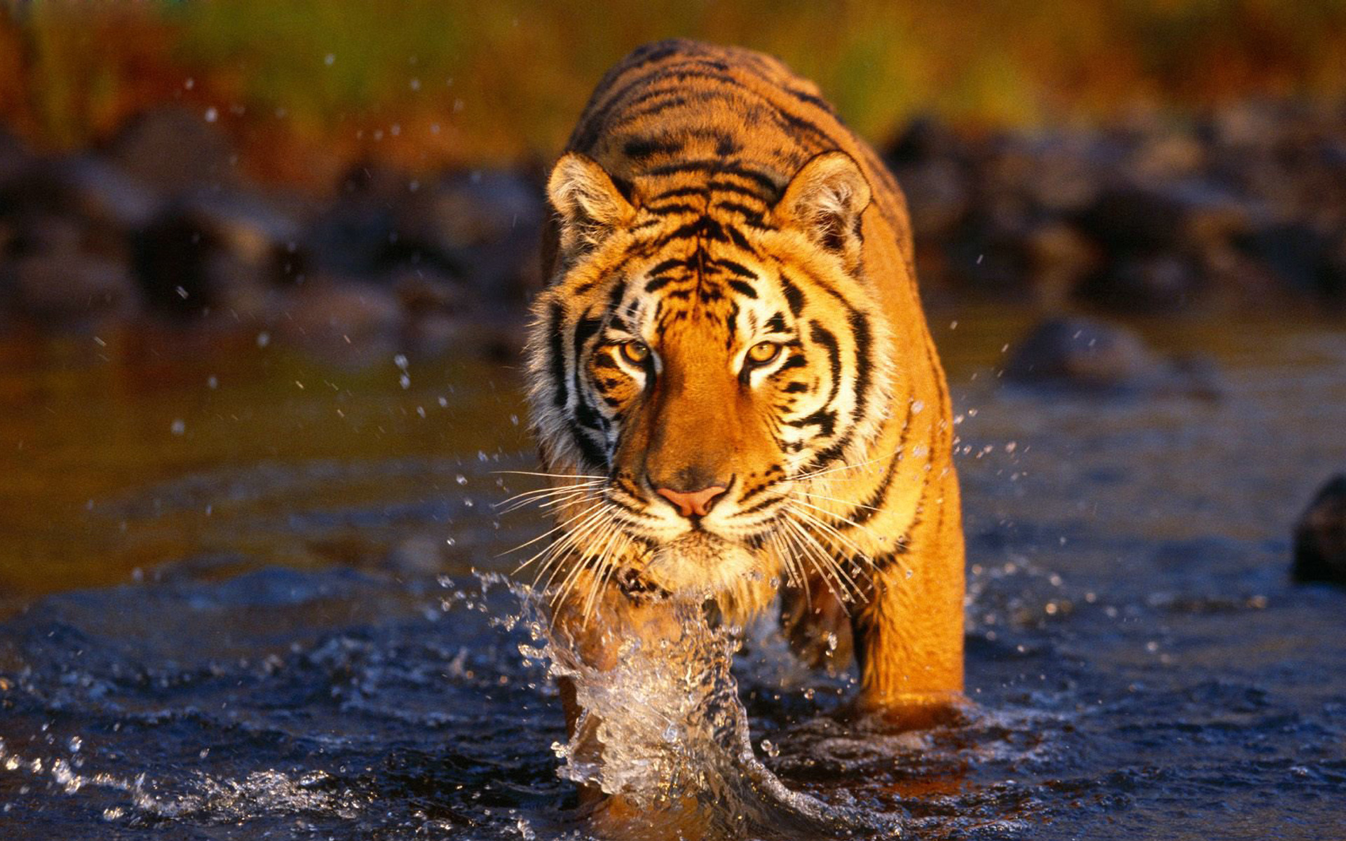 Wild Tiger Wallpapers Group (83+)