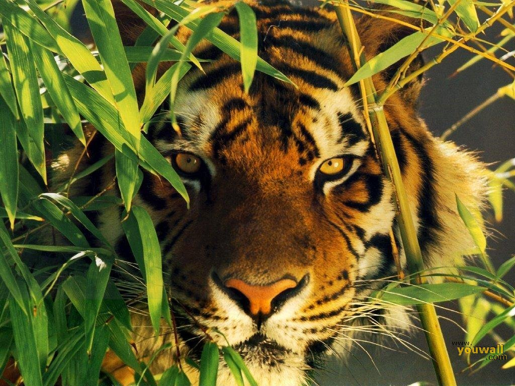 YouWall - Wild Tiger Wallpaper - wallpaper,wallpapers,free
