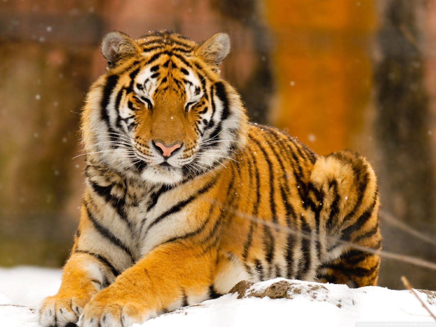 Sleepy Siberian Tiger Wild Animal HD desktop wallpaper