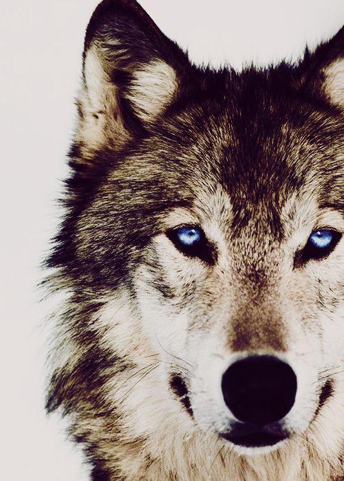 1000+ ideas about Wild Wolf on Pinterest   Gray wolf, Wolf