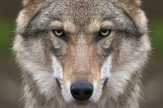 ANIMAL WISDOM: THE WOLF - Yoni Speaks