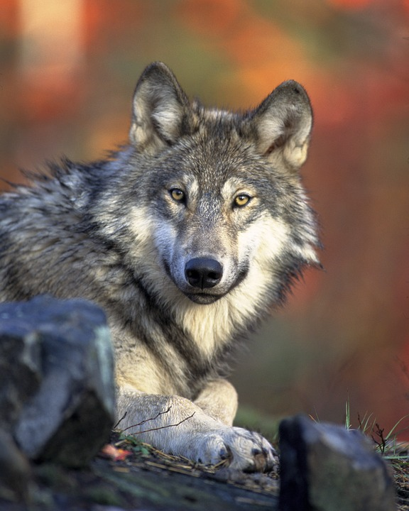 Wolf - Free images on Pixabay