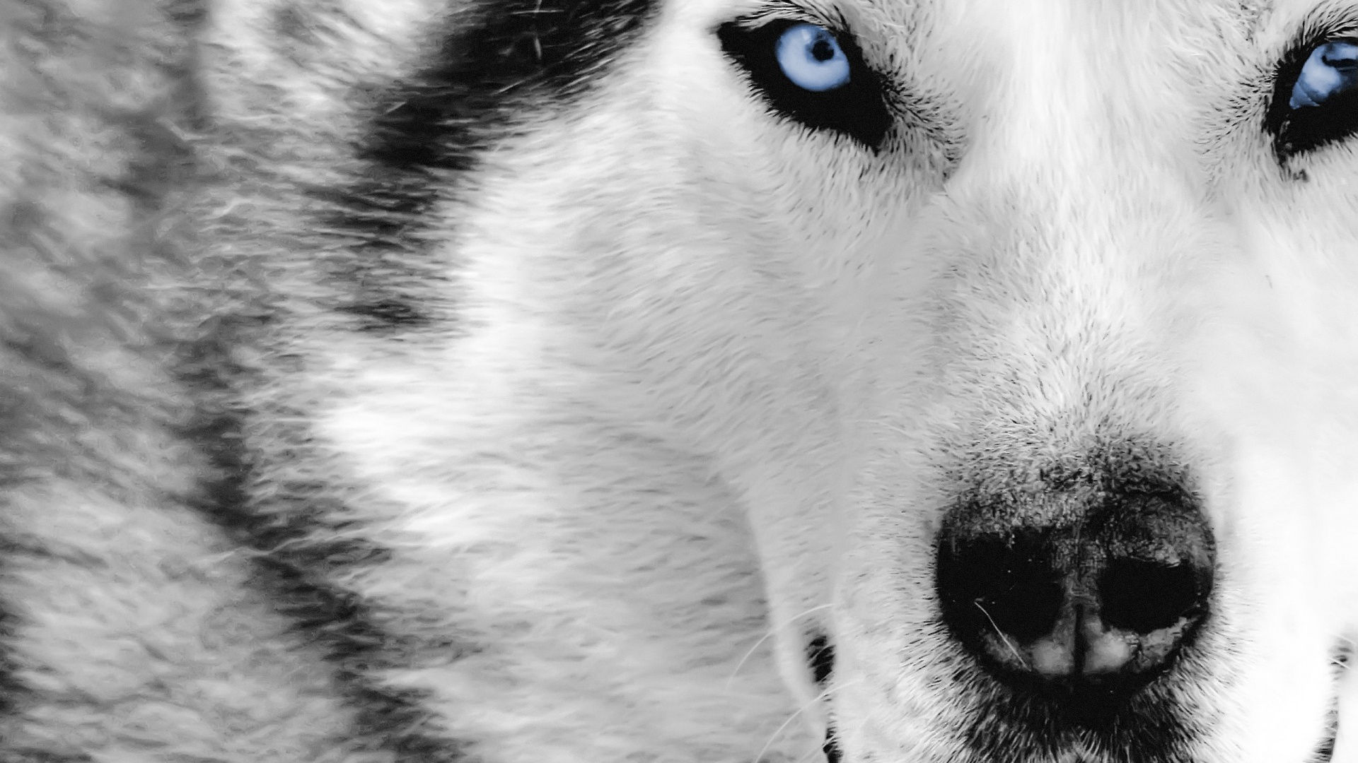 10 Best images about Wolves on Pinterest | Gray wolf, Wallpapers