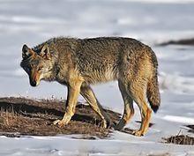 Gray wolf - Wikipedia
