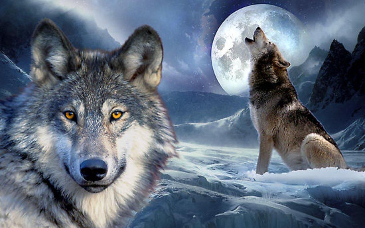 30 Cool Wolf Pictures and Images
