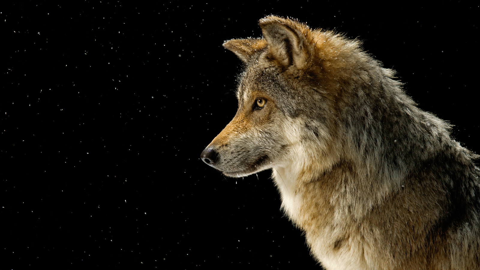 Gray Wolf - Pictures, Facts, and Map
