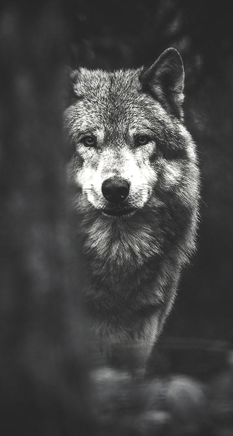 Wolf Wallpaper for iPhone - WallpaperSafari
