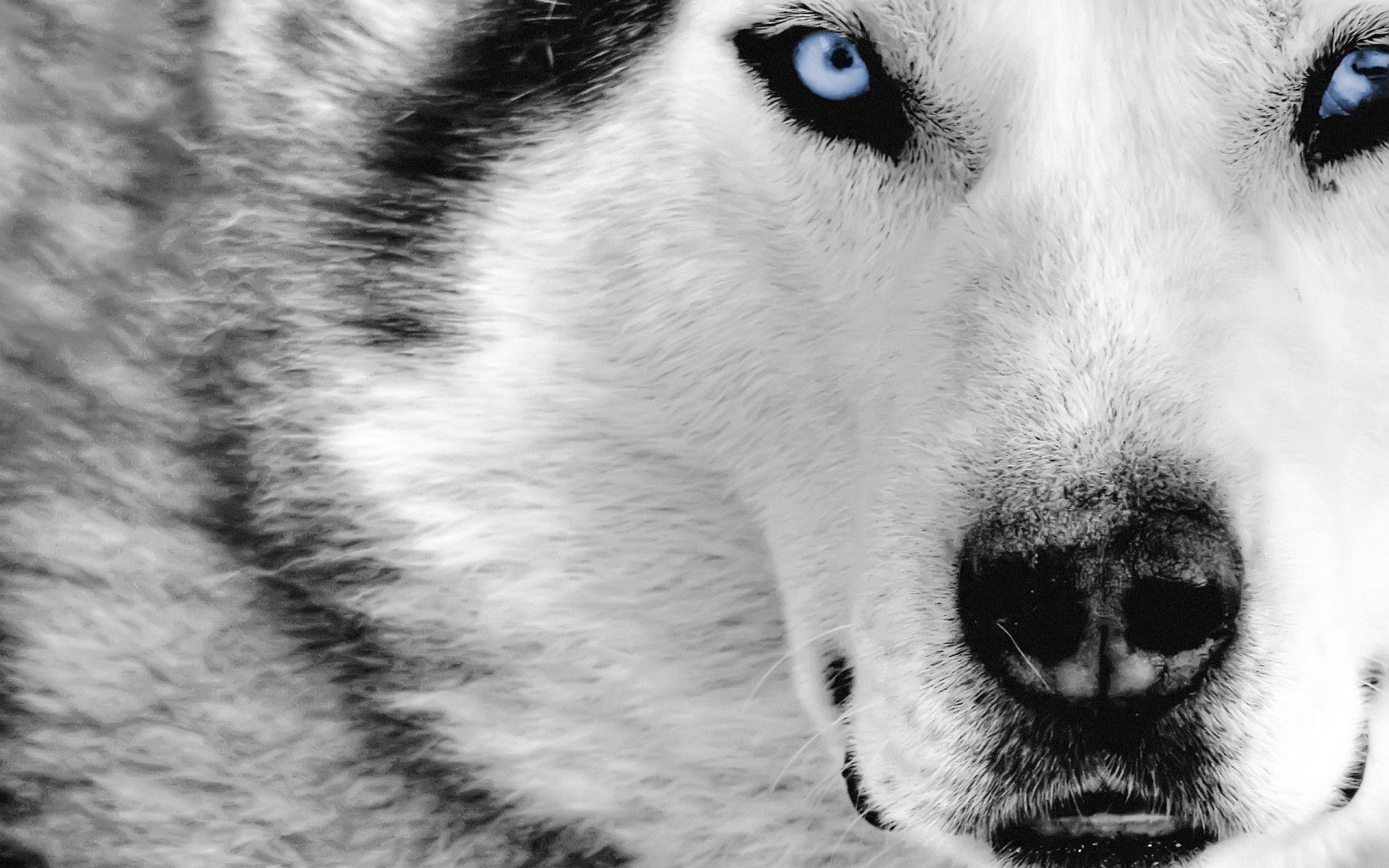 Wolf Wallpaper Free Download Sf Wallpaper