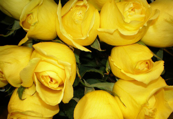 History and Meaning of Yellow Roses - ProFlowers Blog
