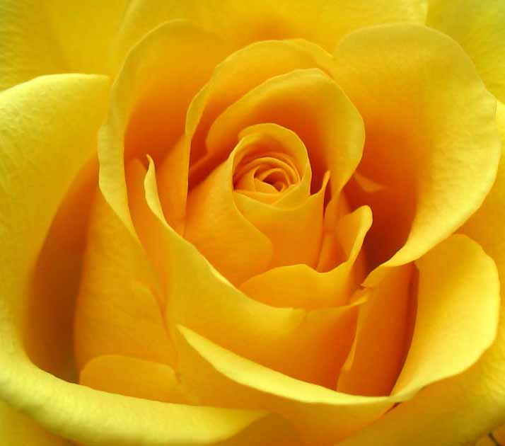 78 Best images about Yellow Roses on Pinterest | Friendship