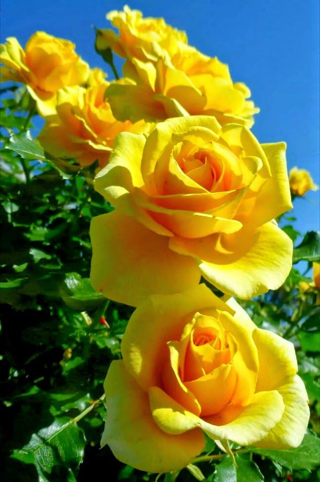 1000+ ideas about Yellow Roses on Pinterest | Roses, Flower