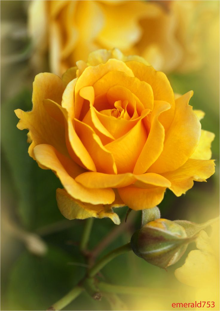 10+ ideas about Yellow Roses on Pinterest | Roses, Flower meanings