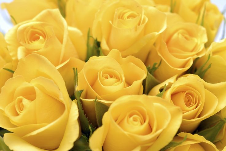 Collection of Yellow Roses Images on HDWallpapers