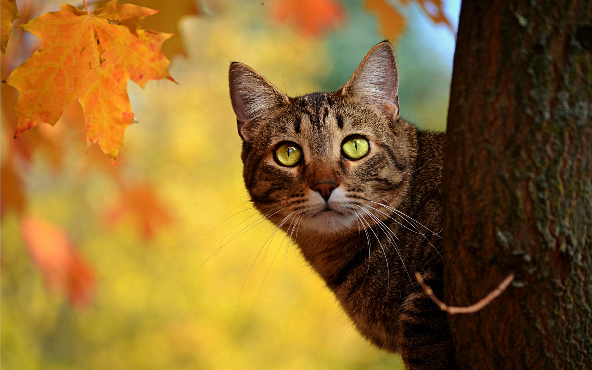 Autumn Cat Peeping Yellow Leaves wallpaper by lovewall