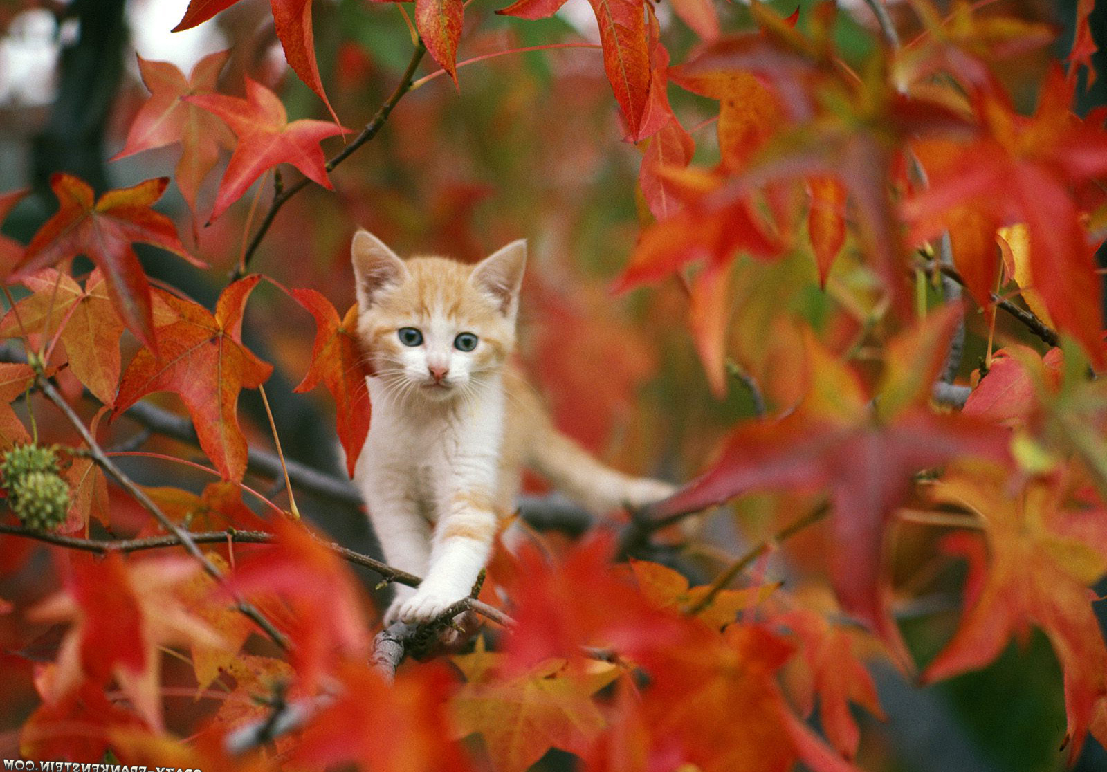 Goldish Cat On Autumn Wallpapers HD / Desktop and Mobile Backgrounds