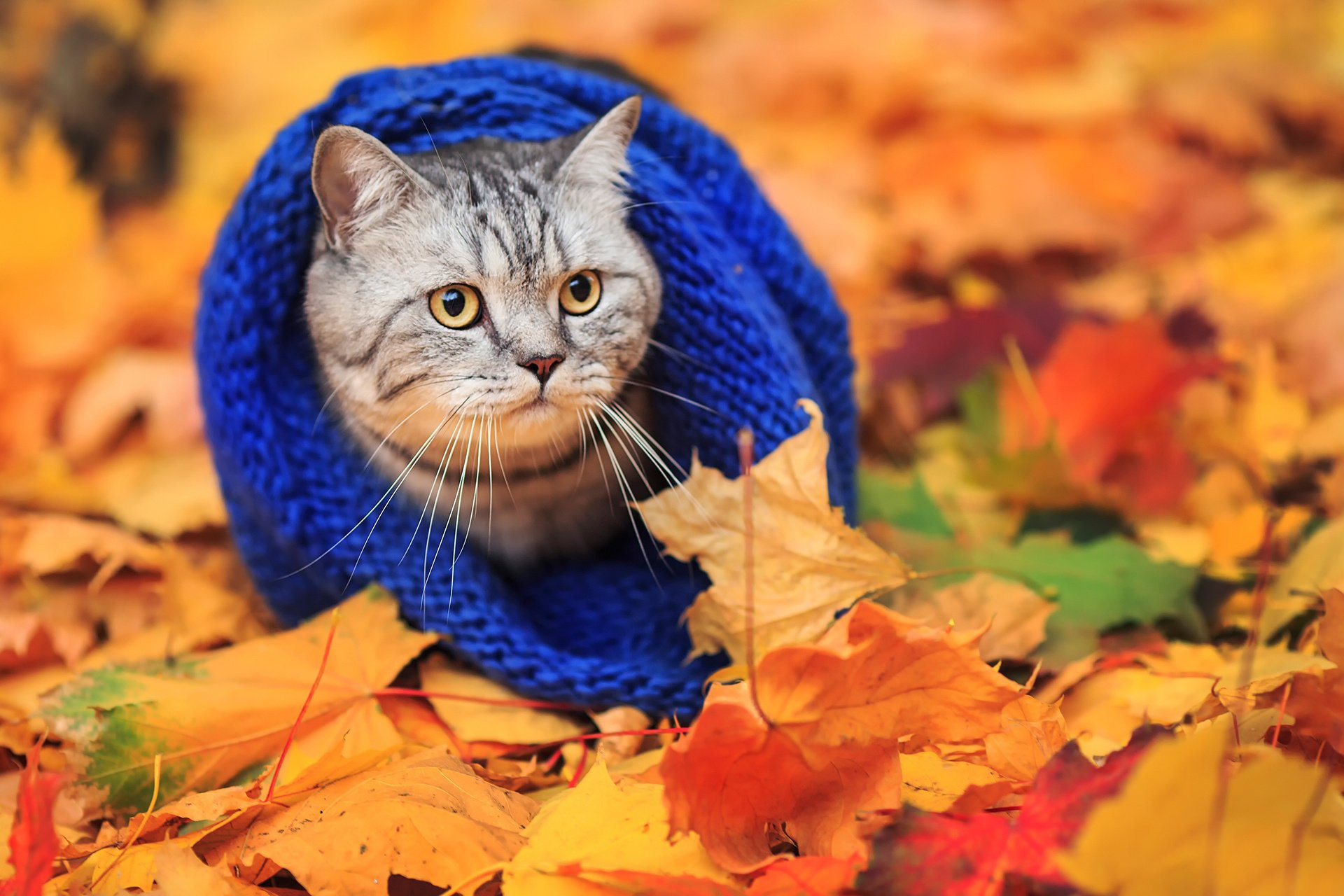 Cat scarf autumn leaves wallpaper   1920x1280   485753   WallpaperUP