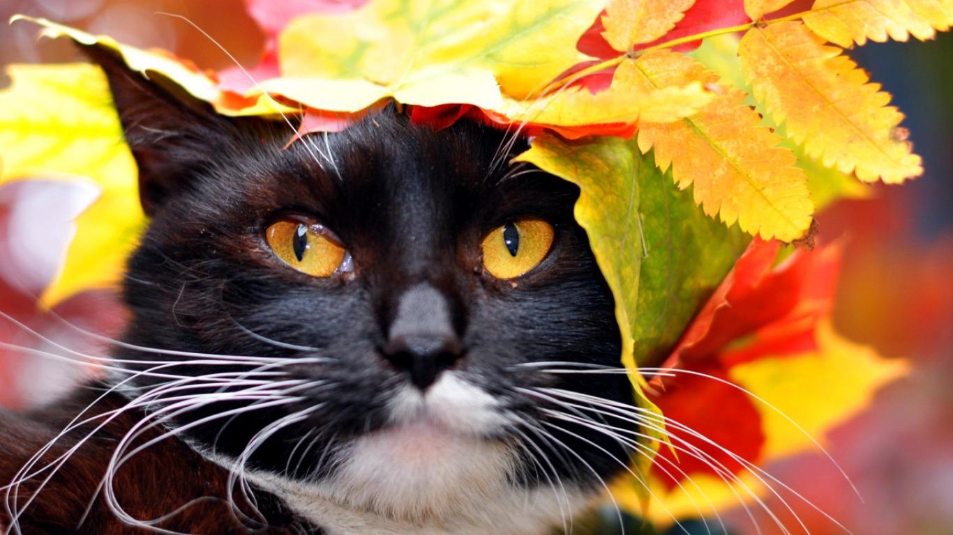 Autumn Cat Computer Wallpapers, Desktop Backgrounds   1366x768