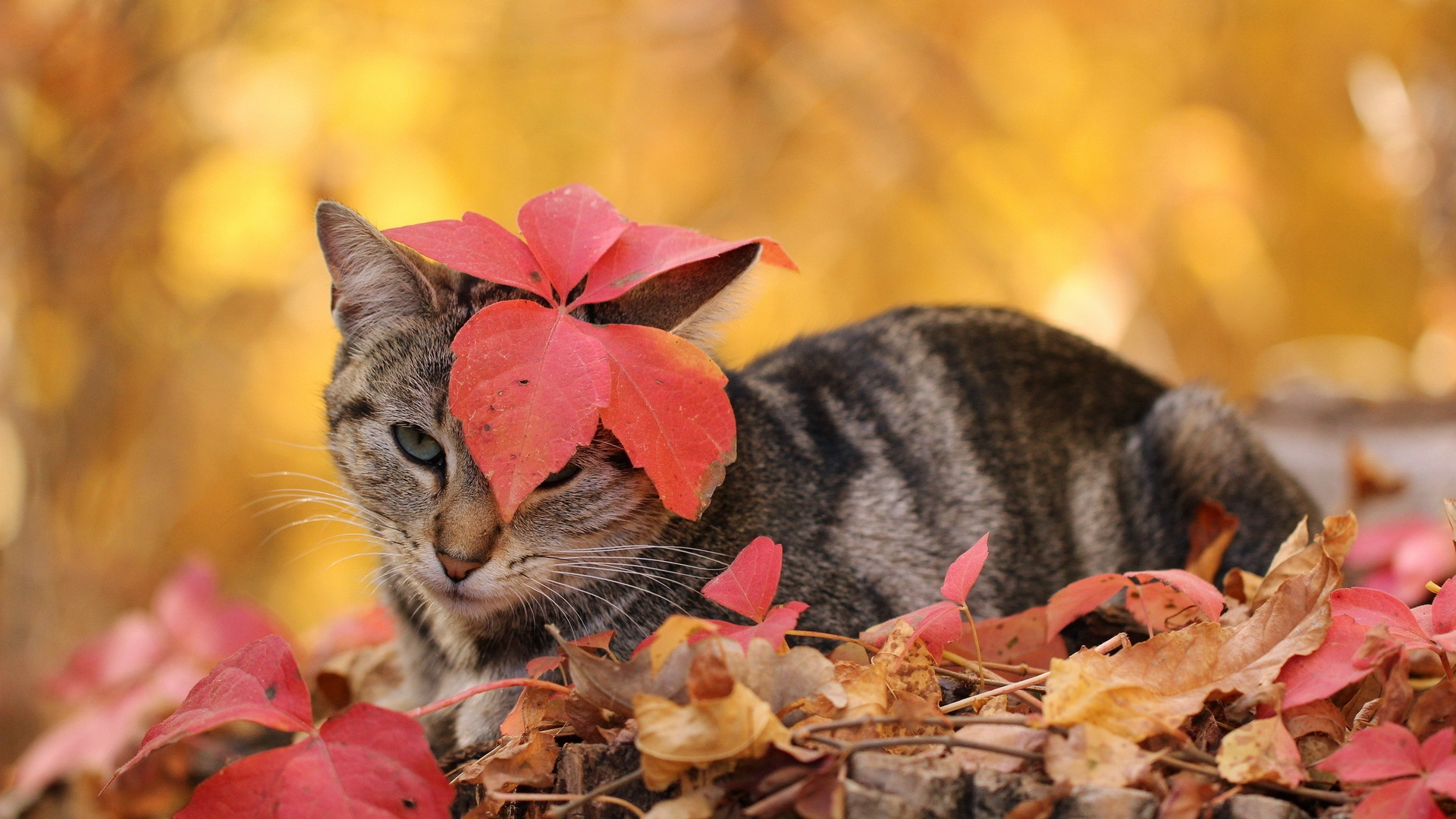 Collection of Autumn Cat Wallpaper on HDWallpapers