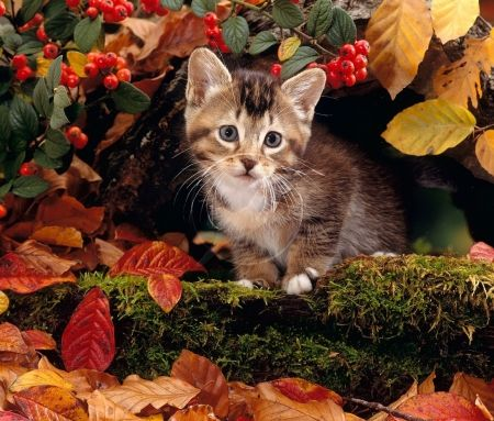 """Sweet Autumn Kitty"""" - Cats & Animals Background Wallpapers on"""