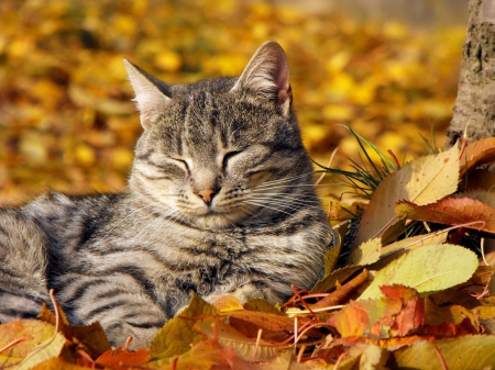 Cat and autumn colors *** - Cats & Animals Background Wallpapers