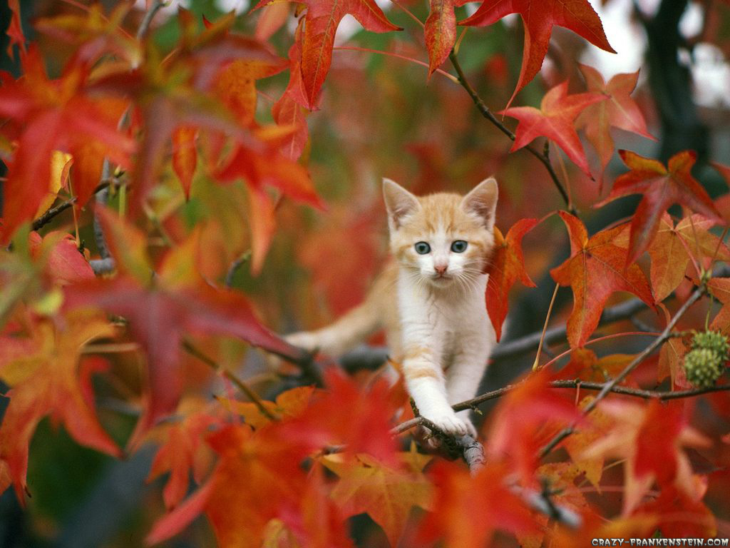 1000+ images about Fall Cats on Pinterest   Kittens, Autumn leaves